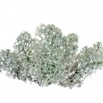 plante-lichen-boreal-way-well-and-you-networking-complément